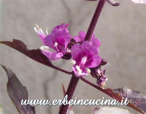 fiori di basilico erbe in cucina fiori di basilico opal