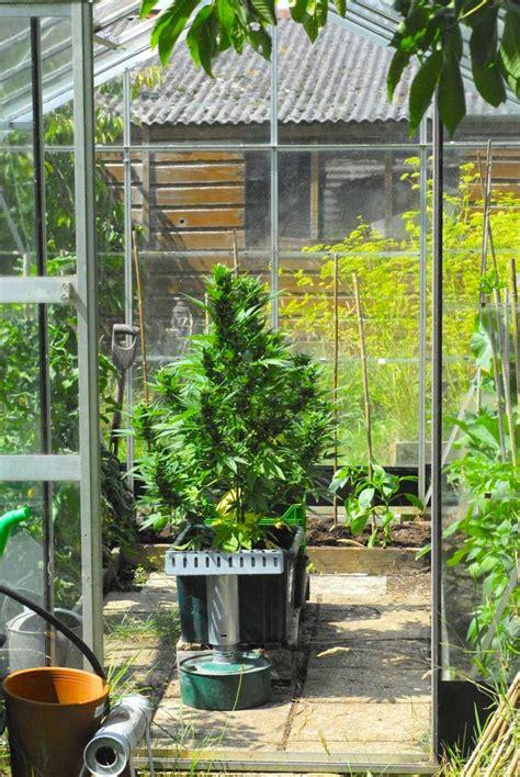 Easy ways to grow autoflowering cannabis seeds outdoors