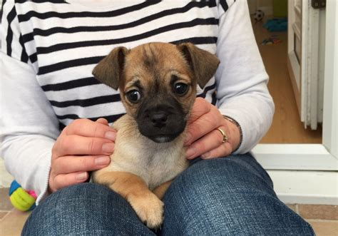 pug cross chihuahua puppies for sale pug cross chihuahua puppy for sale middlesbrough pets4homes