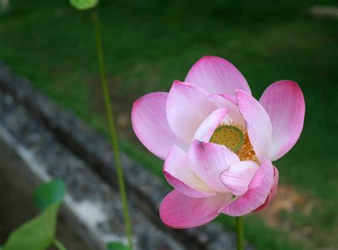 wallpaper bunga lotus bunga teratai lotus bali indonesia asian flower