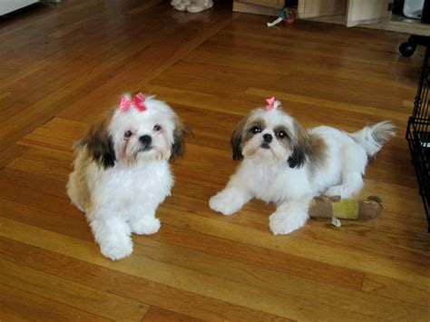 shih tzu bloody stool shih tzu puppies haircuts puppies puppy