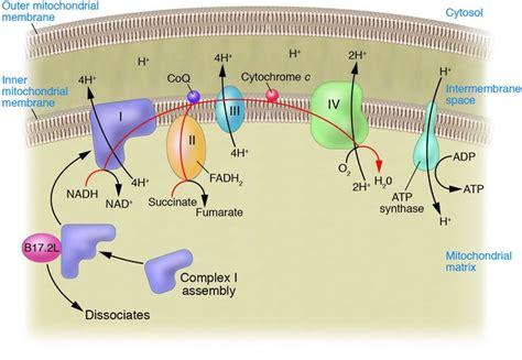 diagram of electron transport photosynthesis electron transport chain diagram