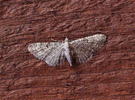 grey pug moth 70 190 bf1837 grey pug geometridae eupithecia subfuscata