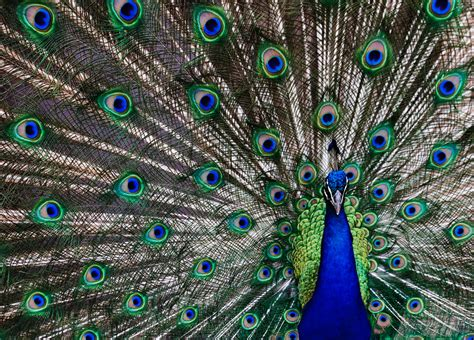 color peacock color types