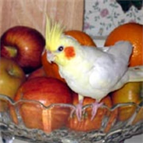 cockatiels healthy and nutritious safe foods safe fruits