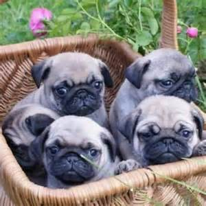 all things pug basket of baby pugs all things pug