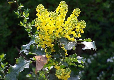 mahonia aquifolium mahonie ein immergr 252 ner kleiner