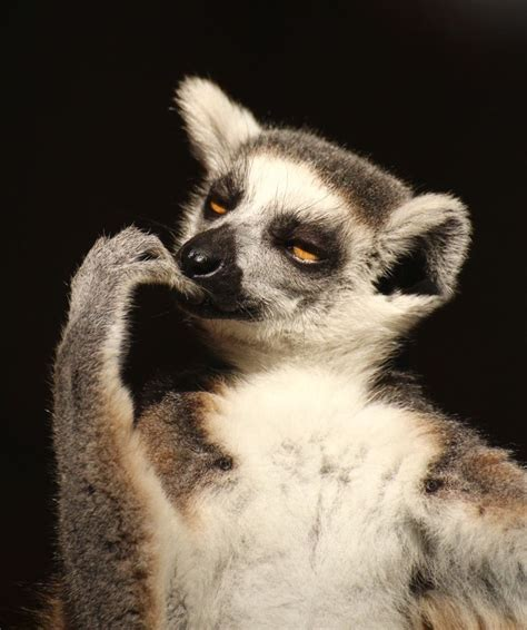 Lemur I Like To Move It Move It by 89 Best King Julian I Like To Move It Move It Images On