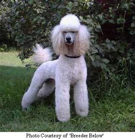 southern indiana poodle rescue standard poodle puppies for sale in indiana