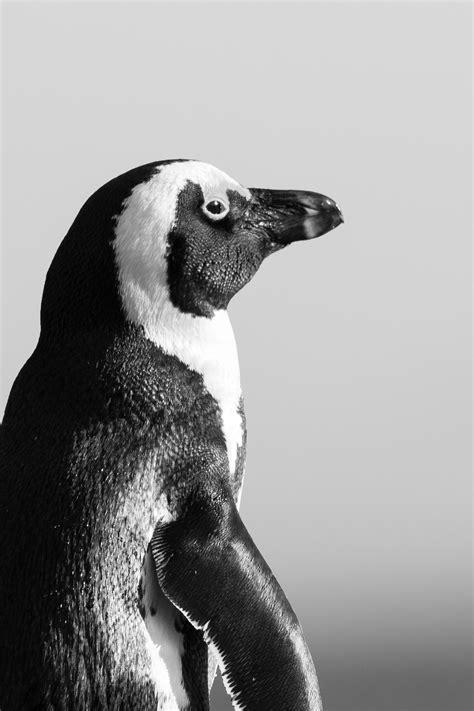 fotos gratis pingueino africano animal animales