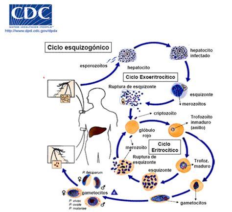 cadena epidemiologica fiebre tifoidea paludismo enfermedad del tercer mundo p 225 gina 2