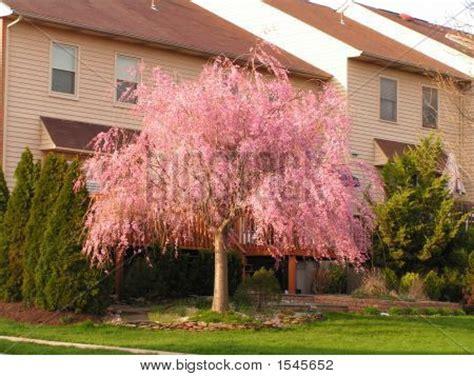 weeping cherry tree image photo bigstock