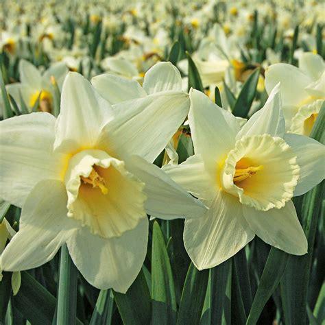 spring trumpet daffodil mix white flower farm