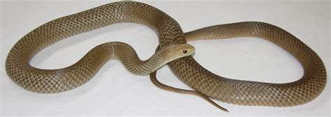 Light Brown Snake by It Is Snake Season In Diggers Rest Diggers Rest Talk