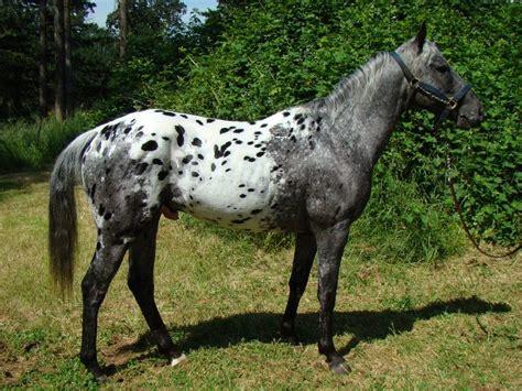 blue roan blanket appaloosa appaloosa horses posts colors and the o jays