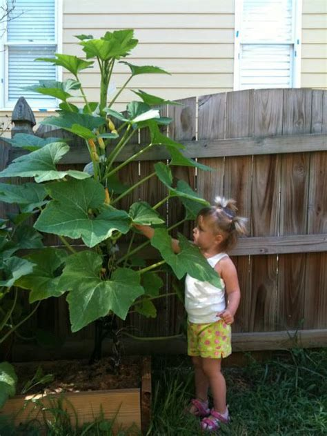 Faire Pousser Des Courgettes Verticalement by How To Grow Zucchini Vertically Gardening