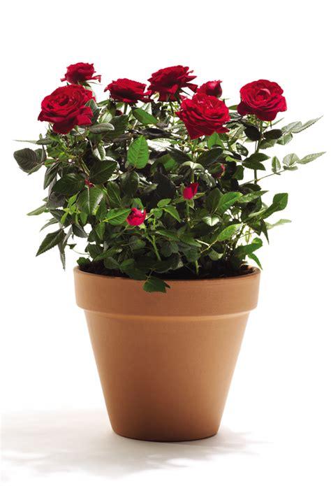 roselline in vaso roselline in vaso unbranded offerte e promozioni