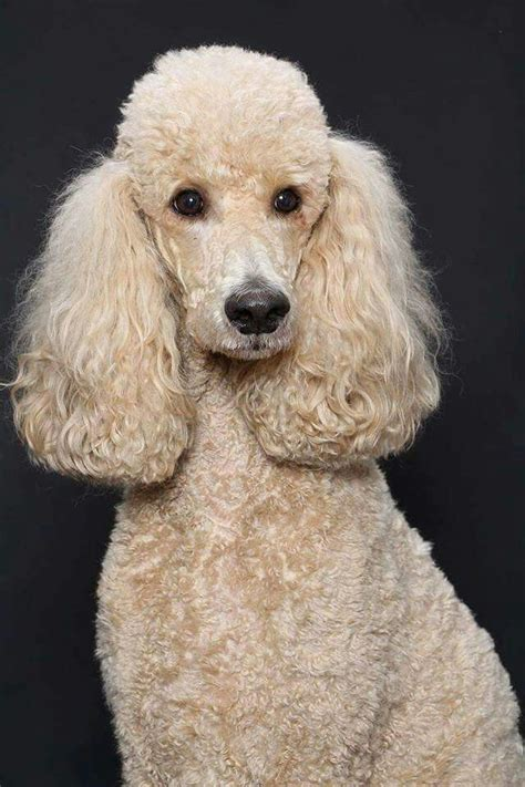 miniature french poodle hairstyles the 25 best poodle cuts ideas on pinterest poodles