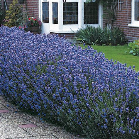 12 lavender munstead fragrant scented small hardy shrub