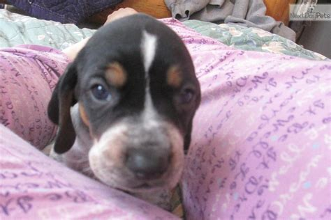 bluetick coonhound puppies for sale near me bluetick coonhound information breeds picture
