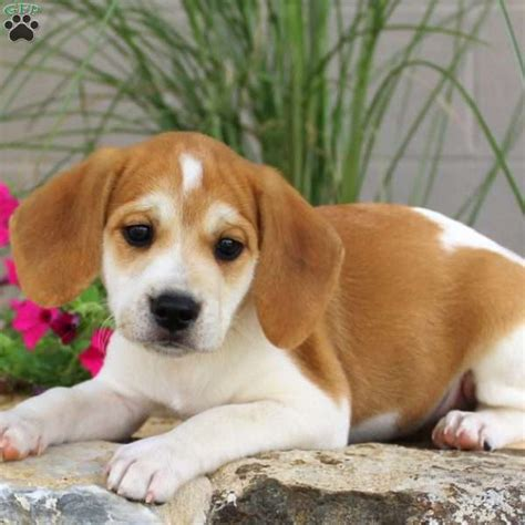 beagle puppies for sale in pa beagle pups for sale in pa