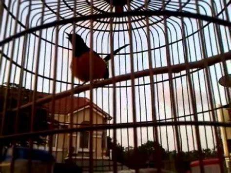 Borneo Mantap burung murai batu borneo mantap