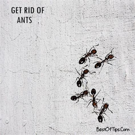 Get Rid Of Ants In Room by 174 Best Images About Trucos On Whiter Whites