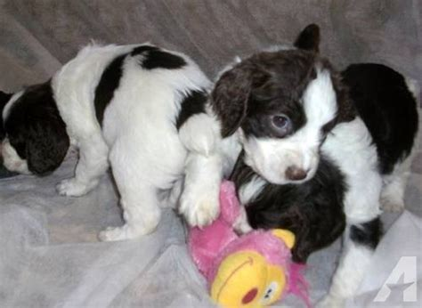 springer spaniel puppies for sale in michigan akc springer spaniel puppies for sale in howard city michigan classified