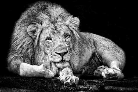 Monochrome Animals Lions Black White Walldevil