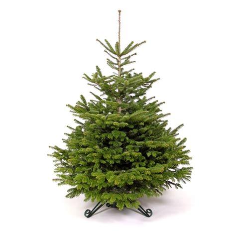 nordmann fir trees nordmann fir tree 28 images nordmann fir trees
