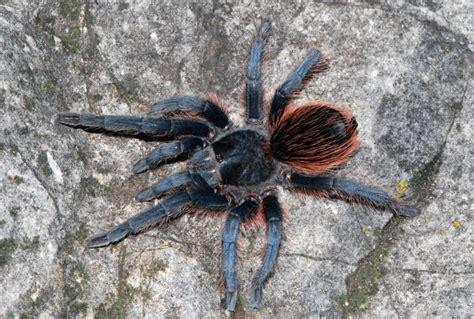 Tarantula B Vagans mexican rumped tarantula brachypelma vagans