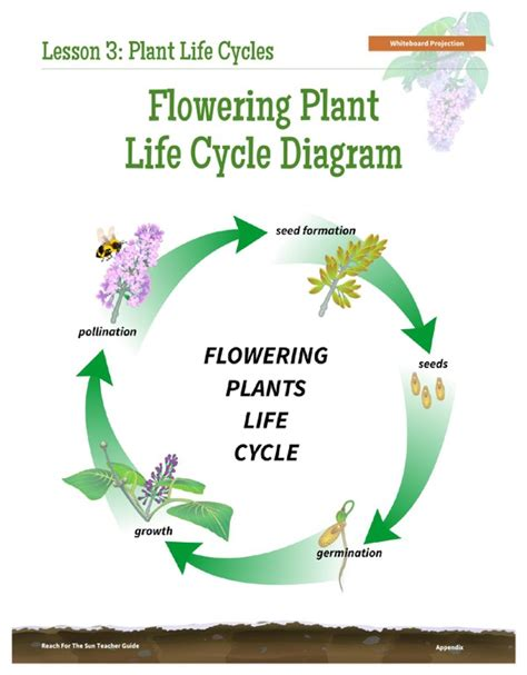 free flowering plant life cycle diagram for pdf