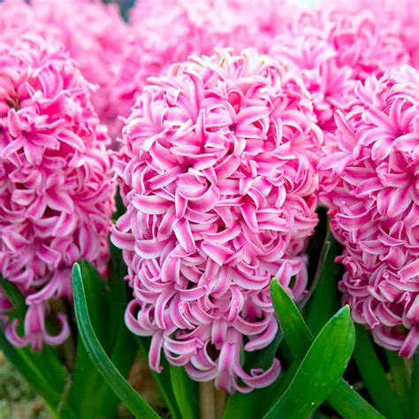 0278a0r South Flowers Pearl Pink hyacinth bulbs indoor pink pearl dobies