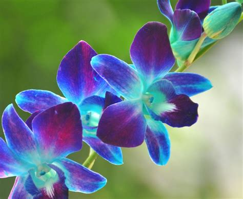 blue orchid 17 best ideas about blue orchid on