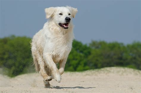 golden retriever fur free photo golden retriever play fur free image on pixabay 672837
