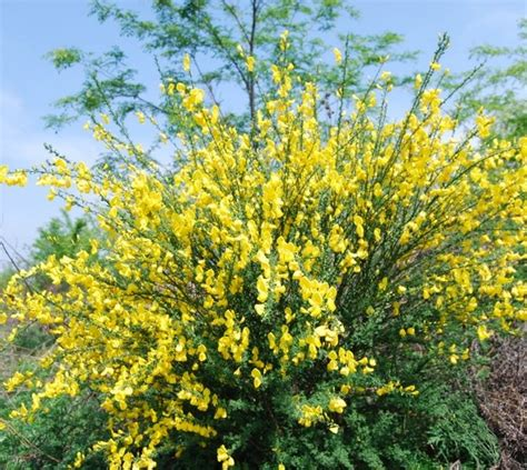 fiore di ginestra fiore di brughiera nella brughiera crescono fiori e