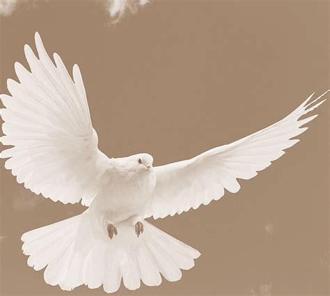 imagenes de palomas blancas en vuelo enero 2013 nickynegrete