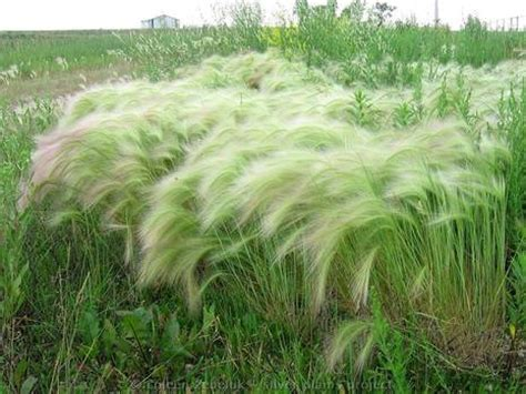 foxtail awns dog ear infection home remedy archives my pet articles