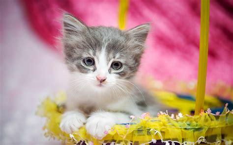 wallpaper cute kitten cat hd animals