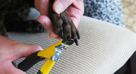 how to cut a dogs nails how to cut your s nails without being afraid proud