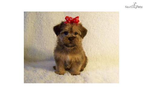 brussels griffon puppy  sale  st louis missouri