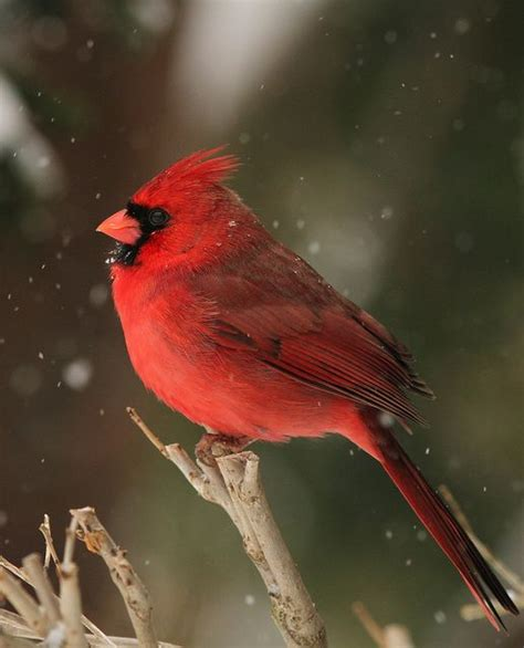 cardinals are the most frequent visitors to our bird seed