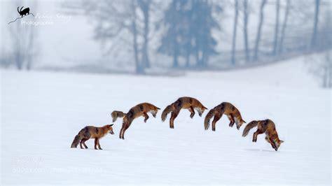 adorable   foxes   snow px