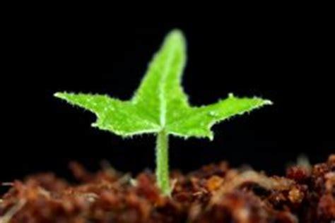 Efeu Beseitigen by Efeu An Der Wand 187 Pflanzen Pflegen Und Entfernen