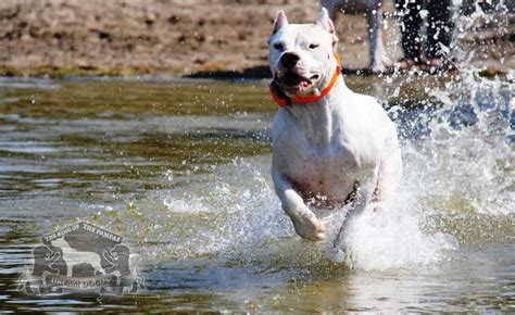 dogo argentino puppies for sale 2016 dogo argentino images dogos