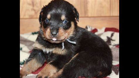 17 week rottweiler vena s litter is 3 weeks akc rottweiler puppies for sale in ohio born 7 9