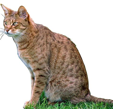 domestic breeds domestic bobcat hybrid