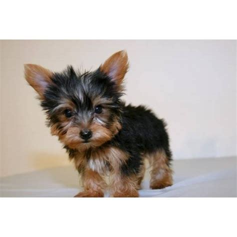 best way to house a yorkie how to rescue a yorkie ehow yorkie with big ears breeds picture