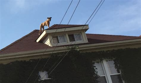 dog on a roof roving rover roof loving dog gets owner stranded too