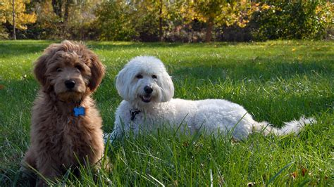 country doodle indiana mini goldendoodle puppies are here 187 doodle country